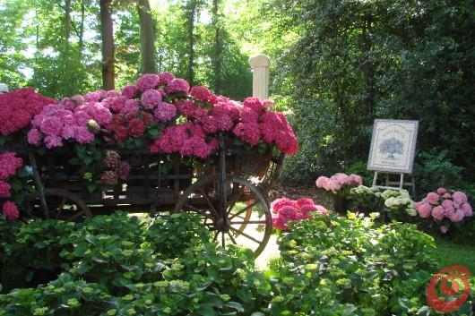 La fiera di Beervelde, una decorazione floreale con le ortensie