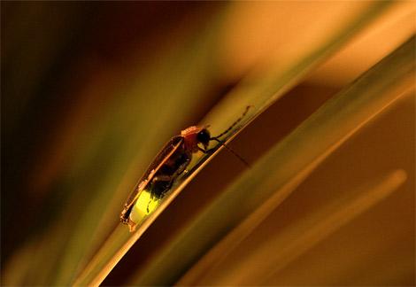 Una lucciola, abitante ormai raro dei nostri giardini