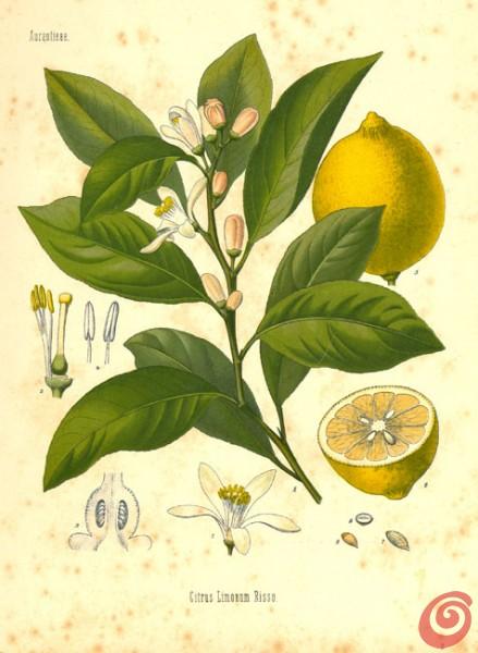 limonovec