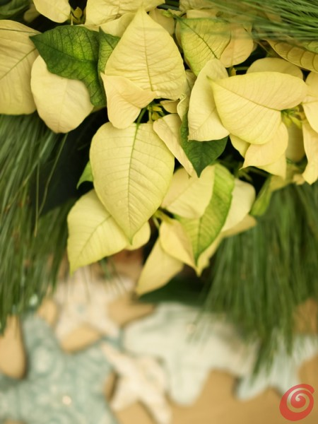 Božične zvezde: vzgoja in nega