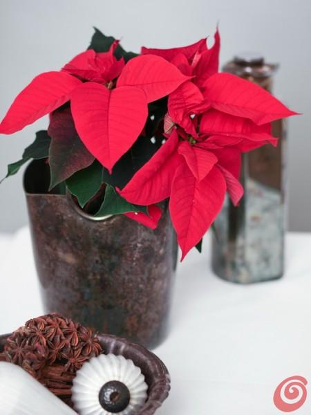 Božične zvezde - ideje za krašenje z njimi