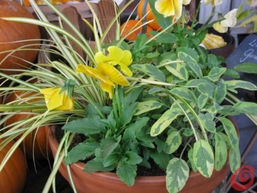 Il giardino in una fioriera, 5a parte: le piante aromatiche