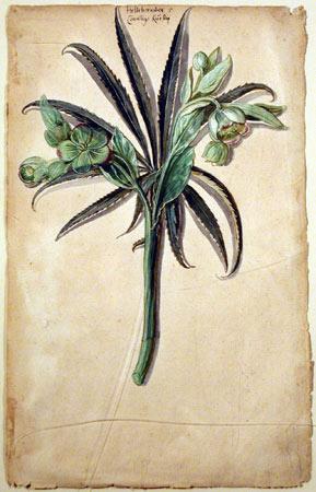 La rosa di natale o elleboro è un'ottima pianta perenne per le fioriere sul balcone
