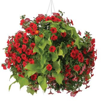 Come realizzare delle composizioni sospese. Le sospensioni di piante fiorite hanno delle esigenze un po' diverse da quelle nei vasi normali. Vediamo come procedere.