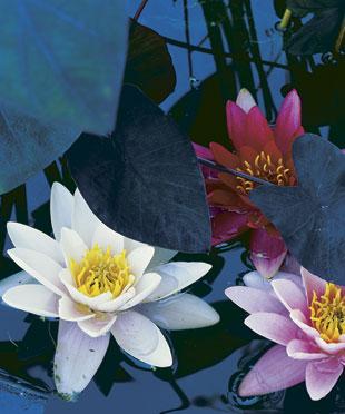 Il giardino in fioriera 16: creare uno stagno o un giardino acquatico sul terrazzo