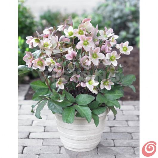 Azalee e ellebori, con tante fresche idee colorate per creare degli abbinamenti floreali con le piante bulbose!