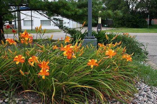 Marzo e aprile sono i mesi giusti per piantare i bulbi e i tuberi delle piante che renderanno più fiorita la nostra estate: gladioli, dalie, begonie, emerocallidi e agli decorativi.