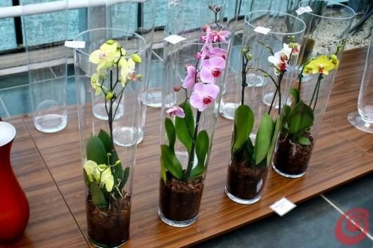Visita al vivaio di orchidee: le phalaenopsis Ocean Orchids