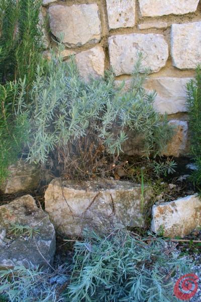 La lavanda: la coltivazione, la potatura primaverile e la propagazione