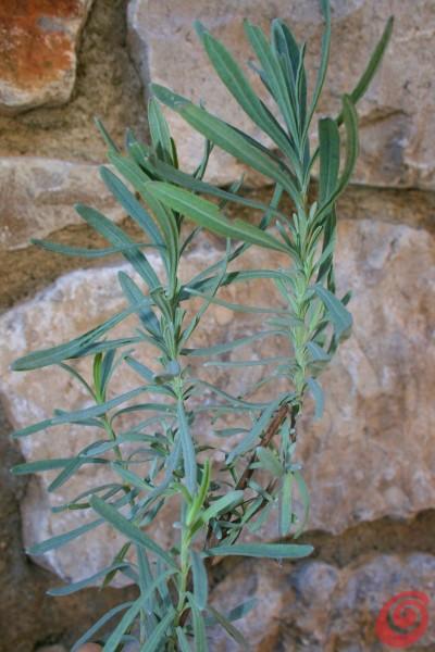 Sivka: spomladanska rez in razmnoževanje