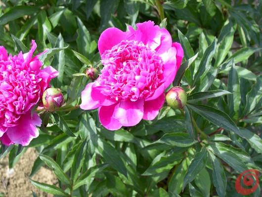 La fioritura delle peonie dipende dalla profondità d'impianto.