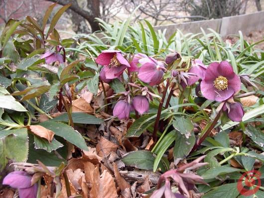 Desiderate avere un elleboro orientale nel vostro giardino? Piante perenni in giardino – i consigli per coltivarle 13, l'elleboro orientale