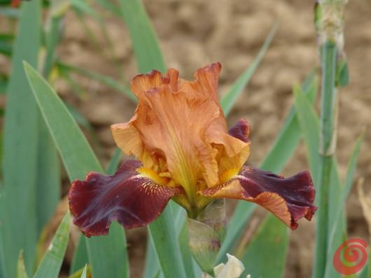 Piante perenni in giardino – i consigli per coltivarle 12, l'iris barbata