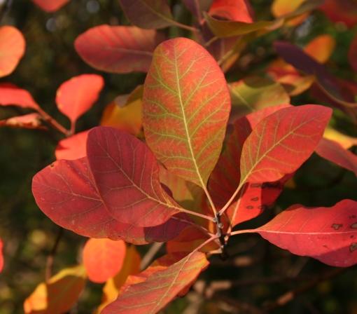 Lo scotano e i colori dell'autunno