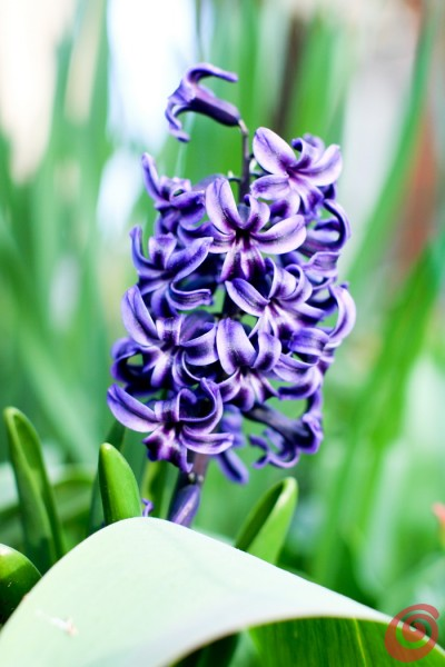 Tulipani, narcisi, giacinti - quando piantarli?