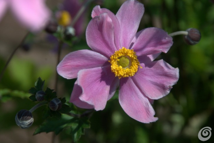 Anemone hybride