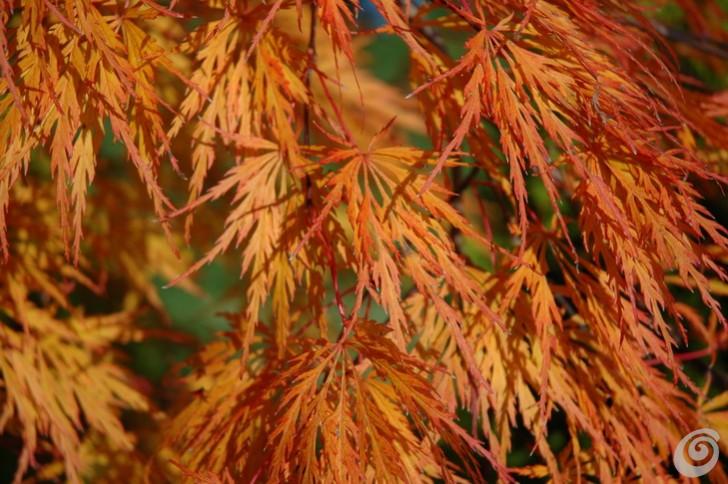 Acer palmatum, Acer japonicum